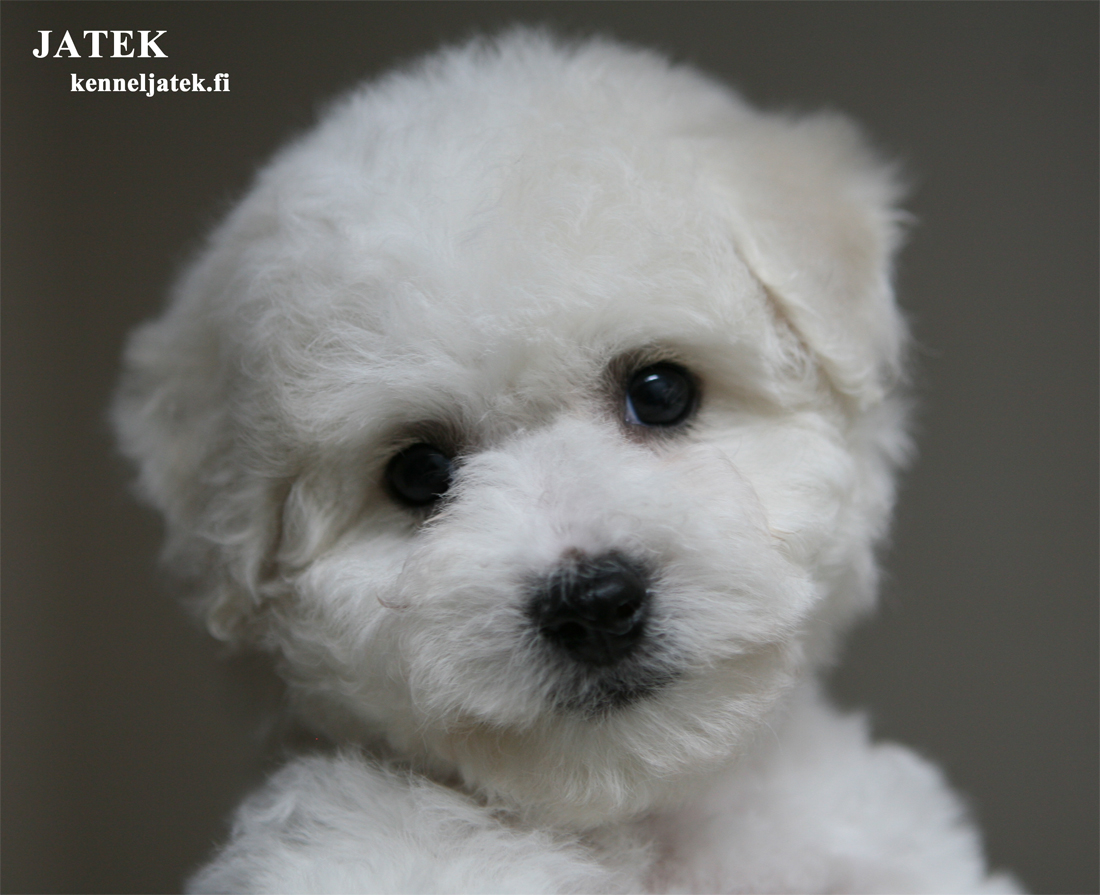 Kennel Jatek Bichon Frise Puppy